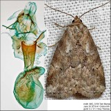 9037 – Dotted Graylet Moth – Hyperstrotia pervertens IMG_5198.jpg