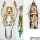 6011 – Brower's Vitula Moth – Vitula broweri IMG_5201.jpg