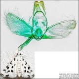 4794 – Spotted Peppergrass Moth – Eustixia pupula IMG_5213.jpg