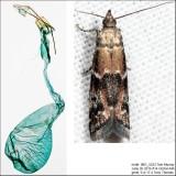 6011 – Brower's Vitula Moth – Vitula broweri IMG_5223.jpg