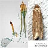 1515 – Shy Cosmet Moth – Limnaecia phragmitella IMG_5239.jpg