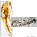 0279 – Diachorisia velatella IMG_5257.jpg