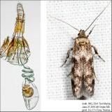 1171 – Asaphocrita aphidiella IMG_5341.jpg