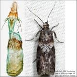 5775.2 – Salebriaria rufimaculatella IMG_5398.jpg