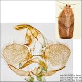 3593 – Woodgrain Leafroller Moth – Pandemis lamprosana IMG_5405.jpg