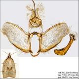 3706 – Mosaic Sparganothis Moth – Sparganothis xanthoides IMG_5639.jpg