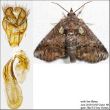 Noctuoidea Moths Identified with Genitalia Pictures (8880-11233)