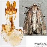 9433 – Chang Borer Moth – Xylomoia chagnoni IMG_5660.jpg