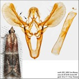 6005 – Darker Moodna Moth – Moodna ostrinella IMG_5695.jpg