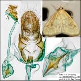 4968 – Hahncappsia pergilvalis
