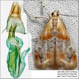 4889 – Julia's Dicymolomia Moth – Dicymolomia julianalis IMG_5424.jpg