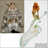 9047 – Large Mossy Lithacodia Moth – Protodeltote muscosula IMG_5430.jpg