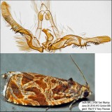 2800 – Variable Nigranum Moth – Olethreutes nigranum IMG_5458.jpg