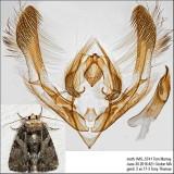 9556 – Cloaked Marvel Moth – Chytonix palliatricula IMG_5741.jpg