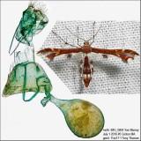 6092 – Himmelman's Plume Moth – Geina tenuidactylus IMG_5804.jpg