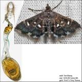 Diathrausta sp. IMG_5810.jpg