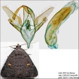 8329 – Orange-spotted Idia Moth – Idia diminuendis IMG_5815.jpg
