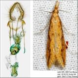 Donacaula flavusella Martinez, unpublished IMG_5820.jpg