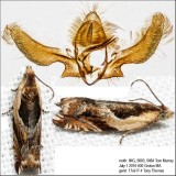 3359 – Black-marked Ancylis Moth – Ancylis metamelana IMG_5883.jpg