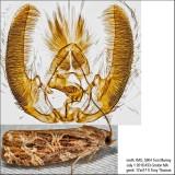 2771 – Macramé Moth – Phaecasiophora confixana or 2772 – Labyrinth Moth – Phaecasiophora niveiguttana IMG_5904.jpg