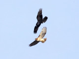 Common Raven harassing a Red-tailed Hawk