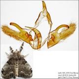 8316 - White-marked Tussock Moth - Orgyia leucostigma IMG_5916.jpg