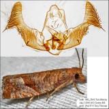 3120 - Derelict Eucosma - Pelochrista derelicta IMG_5943.jpg