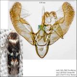 1124 – Elachista cucullata IMG_5962.jpg
