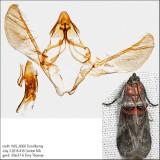 5691 - Sweetfern Leaf Casebearer Moth - Acrobasis comptoniella IMG_6068.jpg