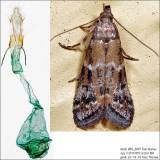 6011 - Brower's Vitula Moth - Vitula broweri IMG_6087.jpg