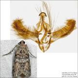 Pococera sp. IMG_6127.jpg