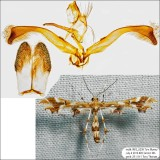 Plume Moths Identified with Genitalia Pictures 6089-6234