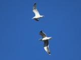 Herring Gulls - Larus argentatus
