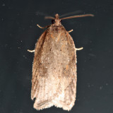 Acleris sp. IMG_8142