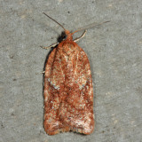 3521.1 - Acleris stadiana