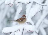 Sparrows genus Spizelloides
