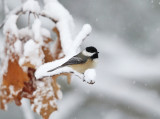 Black-capped Chickadee in a snow storm