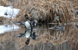 Hooded Mergansers - Lophodytes cucullatus (female)