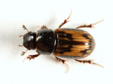 Maculated Dung Beetle - Aphodius distinctus