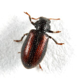 Tooth-necked Fungus Beetles - Derodontidae