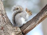 Eastern Gray Squirrel - Sciurus carolinensis