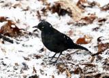Rusty Blackbird - Euphagus carolinus