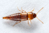 Tachyporus sp.