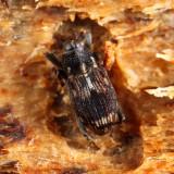 Acoptus suturalis