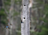 Tree Swallows - Tachycineta bicolor