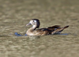 Wood Duck - Aix sponsa (female)