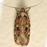 0867 – Agonopterix pulvipennella