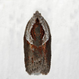 3543 - Stained-back Leafroller - Acleris maculidorsana