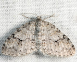 7428 - Brown-shaded Carpet - Venusia comptaria