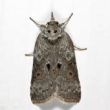 8978 - Forgotten Frigid Owlet - Nycteola metaspilella